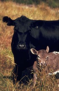 65_Cow_and_calf.jpg